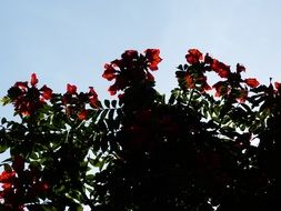 tulip tree with red flowers