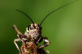 portrait of a grasshopper