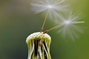 dandelion seeds fly