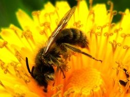 honey bee is collecting pollen on a dandelion