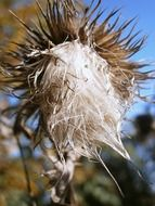 milk thistle close-up