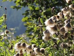 thistle seeds in sunny forest closeup