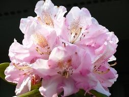 pink rhododendron in bloom, dark background