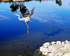 heron in flight over a lake in florida