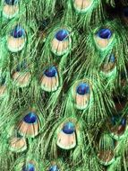 colorful green peacock feathers