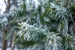 winter fir on the tree