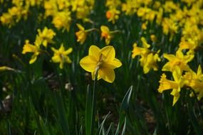 narcissus flower meadow