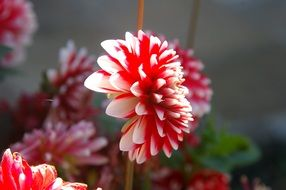 bright garden red white flower
