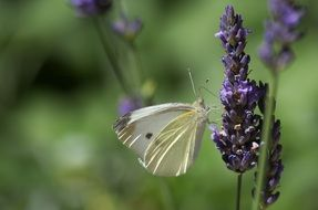 magnificent butterfly on lavender