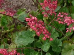 coral bells on long stems