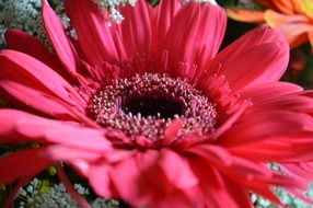 flower red pink daisy macro photo