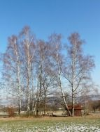 birch grove on a background of blue sky