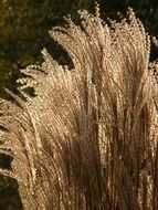 Miscanthus is a decorative plant