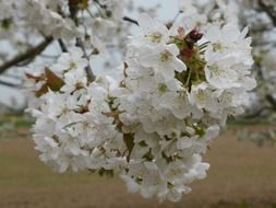 cherry branches in flowers