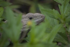 iguana behind green leaves