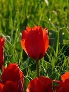 red tulips on a background of green grass