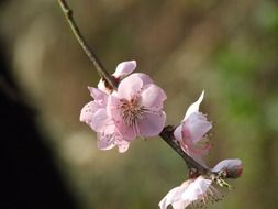 flowering peach tree