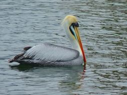 Pelican is swimming in a pond