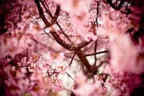 adorable japanese cherry flowering tree
