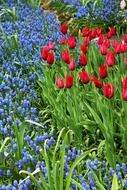 red tulips and blue hyacinths on a bed