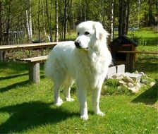 beautiful white pyrenean mountain dog, great pyrenees on lawn