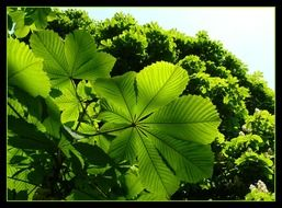 horse chestnut leaf photo