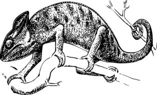 Black and white drawing of the chameleon