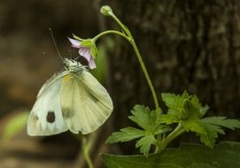 cabbage butterfly on a forest flower