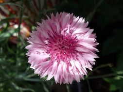 pink wild flower bloom