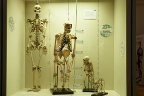 exhibition of skeletons in a museum