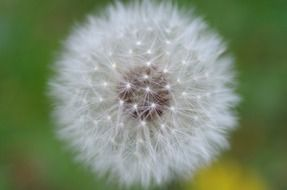dandelion flower close up on blurred background