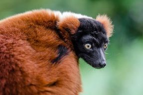 red ruffed lemur madagascar