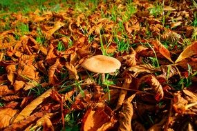 mushroom in autumn leaves leaves