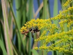 insects on yellow inflorescences