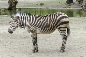 striped hartmann's mountain zebra