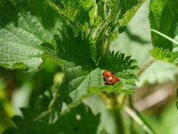 ladybird on nettle leaf