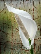 White Spathiphyllum on an abstract background