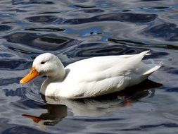 beautiful white duck in blue water