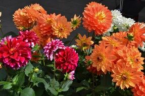 colorful dahlia flowers bouquet