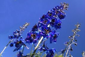 tall blue wildflowers