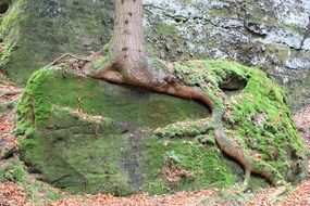 moss on long tree roots