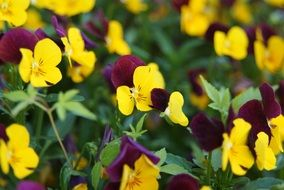 colorful garden pansy