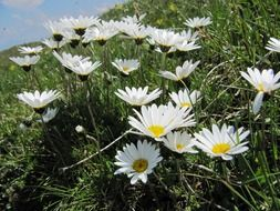 meadow of white daisies on a green meadow close up