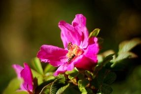 bees in pink flowers