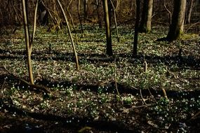 field of snowdrops in the forest in spring