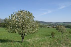flowering apple tree in the field