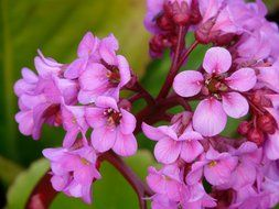 pink colorful flower Bergenia