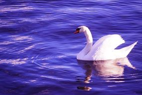 snowy white swan swims in blue water