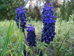 purple muscari, Grape hyacinth