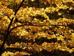 European beech in the woods in autumn